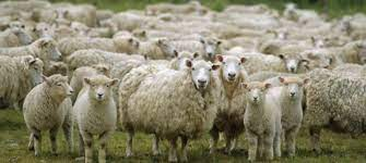 A herd of sheep in a field Description automatically generated with medium confidence